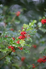 Common holly tree with red berries