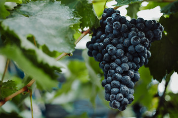Blue grapes for winemaking. Grapes on a branch. Grapes in the vineyard. Vineyards italy. Fototapete