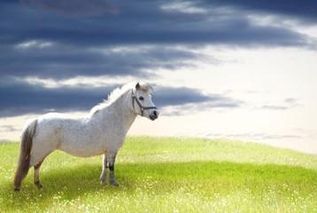 White pony on grass hill