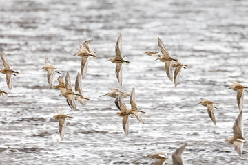 flying dowitcher and sandpiper