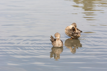 Female Northern shoveler and Green-winged Teal