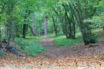 Path leading into the forest of hazel trees, leafs on the ground