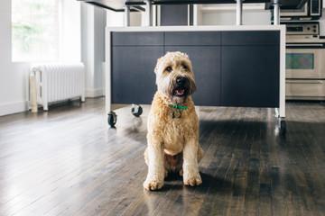 Wheaten terrier in a kitchen