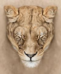 Fototapete - Calm lioness