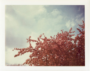 A Blooming Crab Apple Tree Photographed On Expired  Peel Apart Film