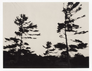 Coastal Pine Trees Photographed On Expired  Chocolate Film