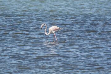 A wild flamingo at Amvrakikos sea