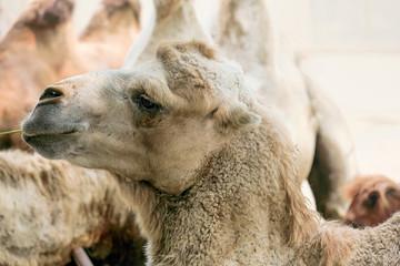 close up of a camel