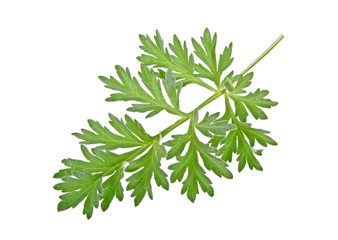 Sprig of medicinal wormwood on a white background. Sagebrush sprig.