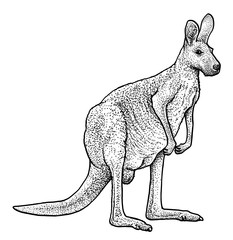 Red kangaroo illustration, drawing, engraving, ink, line art, vector
