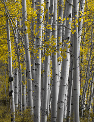 Close up on Aspen forest in Autumn