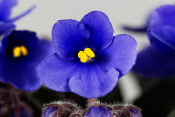Macro photo of a flower of an African violet