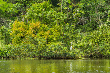 Large white Amazon stork standing in the foliage along the river