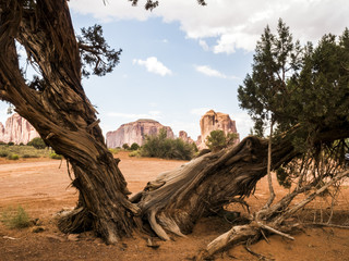 Monument Valley, old trees - Arizona, AZ, USA
