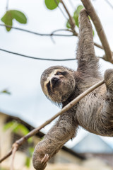 Three-toed baby sloth hanging from one claw