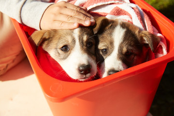 Two sister puppies in a box