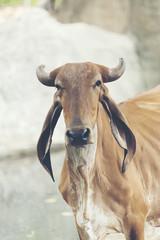 cattle cow in farm field