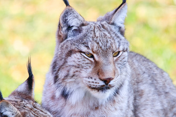 Spoed Fotobehang Lynx Eurasian lynx or Boreal Lynx (Lynx lynx), is a medium-sized cat native to Siberia, Central, East, and Southern Asia, North, Central and Eastern Europe