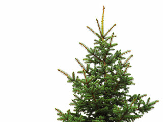 Young green spruce isolated on white background. Object for decorating Christmas greetings for the site and printing