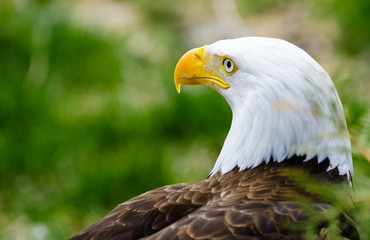 A proud bald eagle standing for the picture