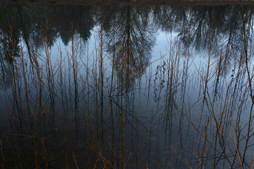 Wall Mural - a picture of an Pacific Northwest forest reflected in a fresh water pond