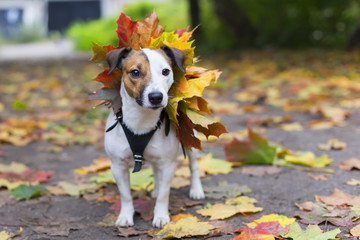 Jack Russell in autumn