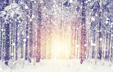 Snowfall in winter forest. Sunrise in frosty snowy forest. Christmas and New Year scene with snowflakes. Xmas background