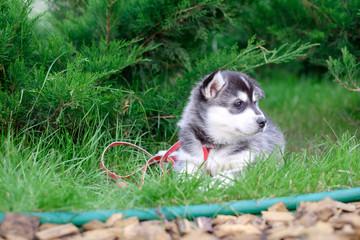 Portrait of a Siberian Husky puppy walking in the yard. Little cute puppy of Siberian husky dog outdoors