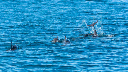 Spinner dolphins, Stenella longirostris, group of dolphins playing in Pacific ocean