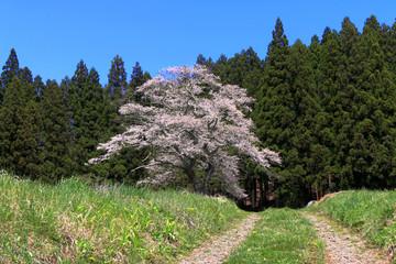 下三坂の種まき桜(福島県・いわき市)