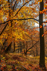 forest with red foliage on sunny day. ravishing nature background