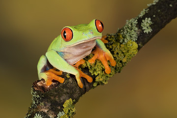 Close up portrait of a red eyed tree frog balancing on a branch against a plain natural background