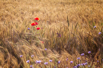 Poppies / Summertime background with poppies among a wheat field