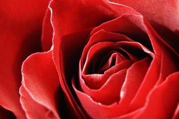 Red rose petals macro
