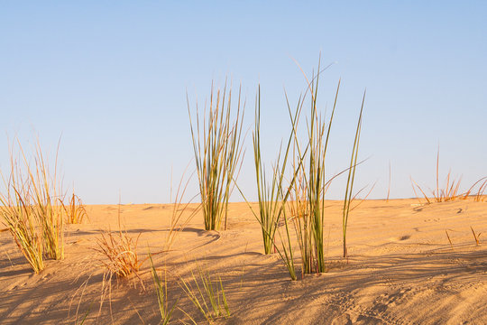 desert grass in the Sahara desert