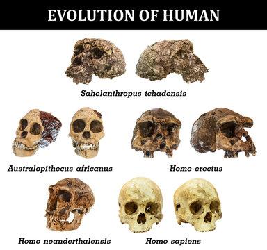 Evolution of human skull ( Sahelanthropus tchadensis . Australopithecus africanus . Homo erectus . Homo neanderthalensis . Homo sapiens )