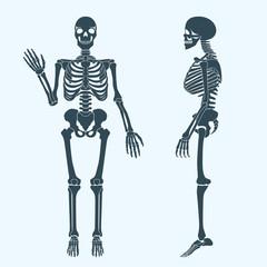 Human bones skeleton silhouette vector. Anatomy of human body.