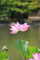 白水阿弥陀堂の古代ハス(福島県・いわき市)