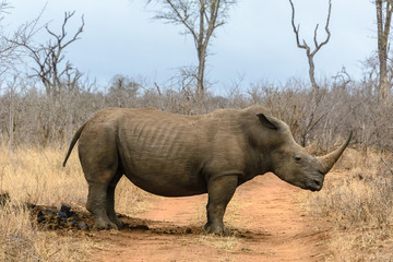 White rhino in Hlane Royal National Park, Swaziland