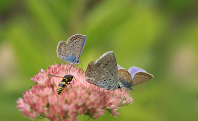 Blue butterfly sits on a flower surrounded by a retinue ..