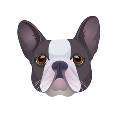 Bulldog face colored in grey and white vector realistic illustration.
