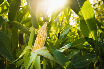 Close up of food corn on green field
