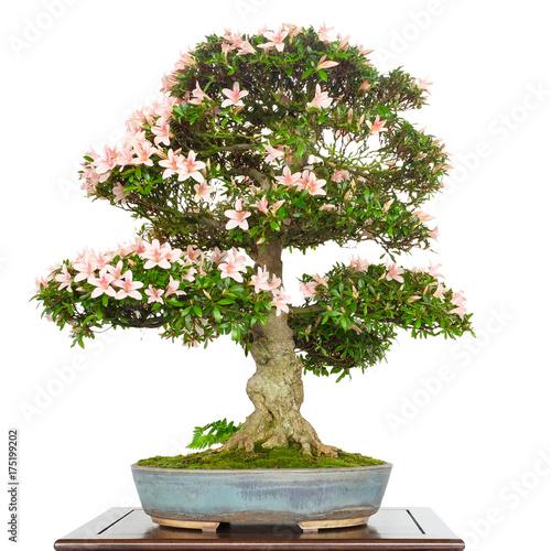 azalee rhododendron als bonsai baum mit rosa bl ten. Black Bedroom Furniture Sets. Home Design Ideas