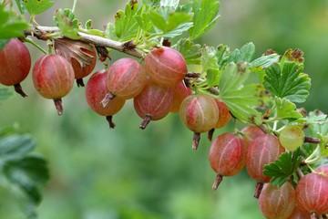 Fruits of a gooseberry