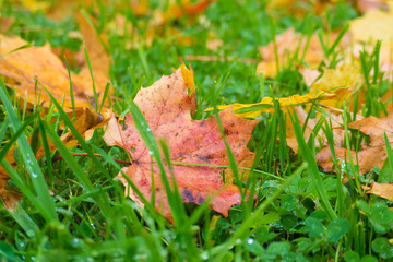 Autumn colorful fallen leaves on green grass close. Bright background fading nature.
