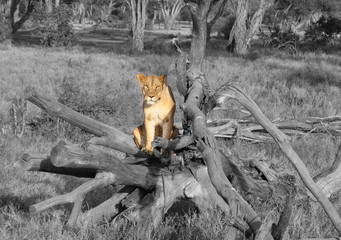Color isolation: lioness in low tree