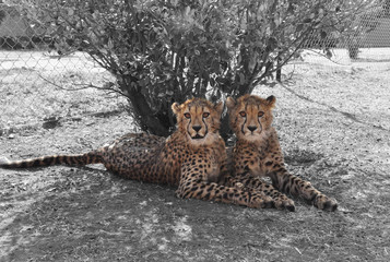 Color isolation: cheetah twins