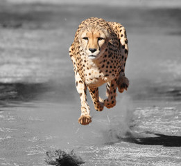 Color isolation: running cheetah
