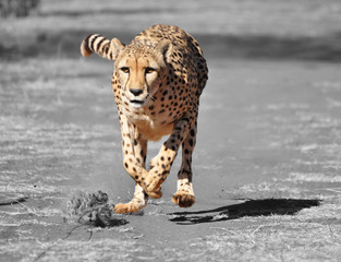 Color isolation: exercising cheetah
