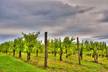 Beautiful view of vineyards under a dramatic sky. Italy, Friuli Venezia Giulia